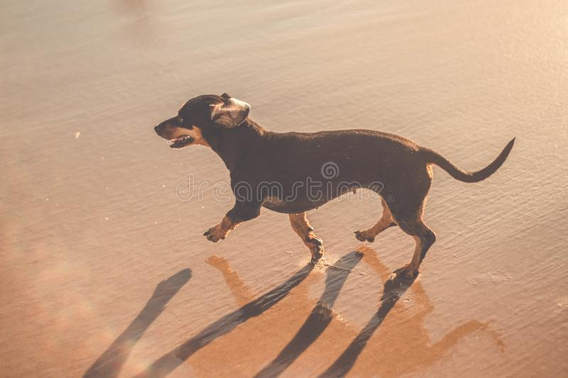 Cute dog of dachshund at the beach walking on sand stock image