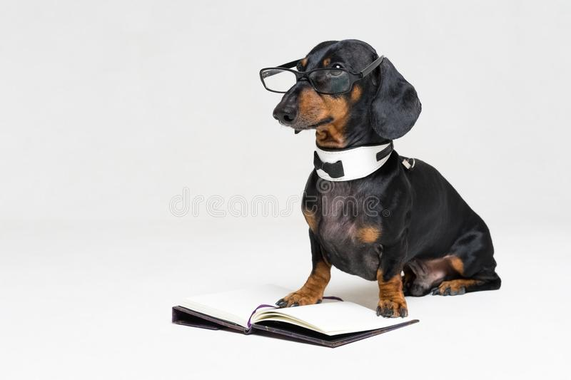 Cute dog dachshund, black and tan, in a bow tie and glasses reading a book, isolated on a gray background.  royalty free stock photos