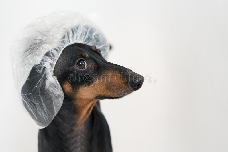 Cute dog dachshund, black and tan, takes a bath with soap foam, wearing a bathing cap close up.  stock images