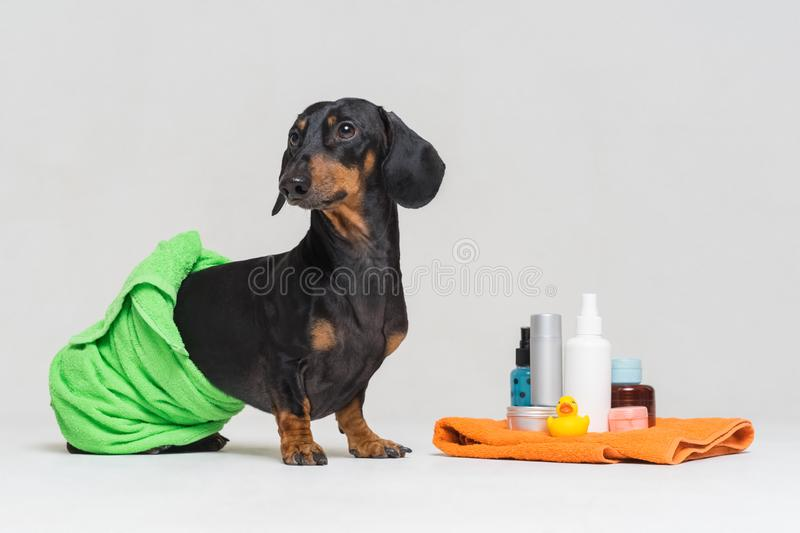 Cute dog dachshund, black and tan, wrapped in a green towel, after showering with a rubber yellow duck, cans of shampoo, bathroom royalty free stock photos