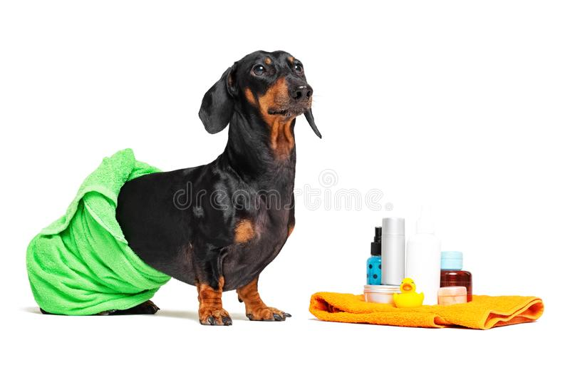 Cute dog dachshund, black and tan, wrapped in a green towel, after showering with a rubber yellow duck, cans of shampoo, bathroom. Accessories, isolated on a stock photos