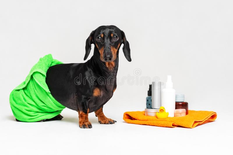 Cute dog dachshund, black and tan, wrapped in a green towel, after showering with a rubber yellow duck, cans of shampoo, bathroom. Accessories, isolated on a royalty free stock photo