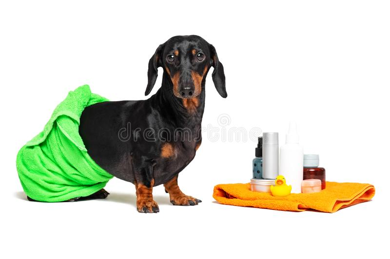Cute dog dachshund, black and tan, wrapped in a green towel, after showering with a rubber yellow duck, cans of shampoo, bathroom. Accessories, isolated on a royalty free stock photography