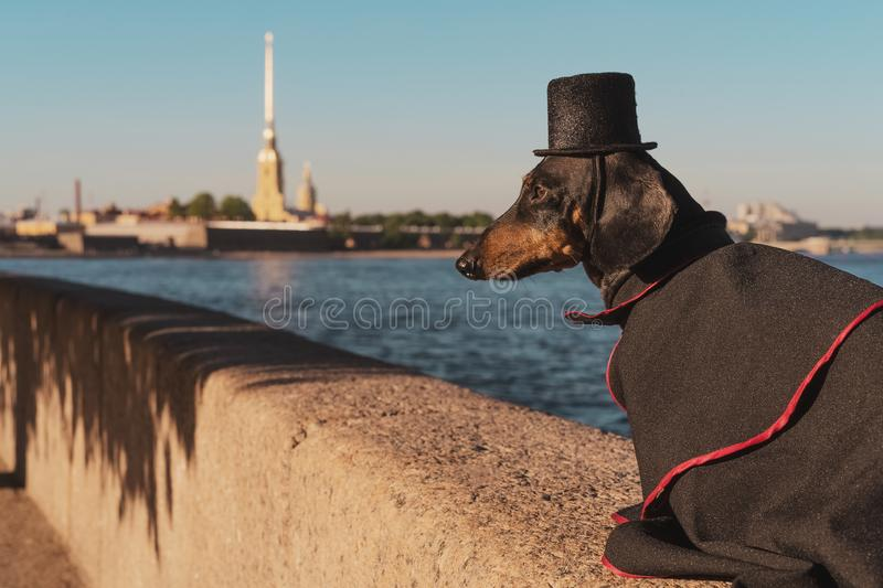 A cute dog of dachshund breed, black and tan, dressed in a suit and a top hat, on a walk on the embankment of St. Petersburg, Russ. Ia against the Peter and Paul stock photography