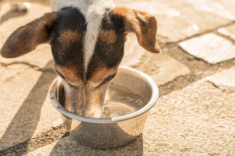 Cute Dog drinkwater uit een kom in een hete zomer - Jack Russell Terrier Doggy 13 jaar oud stock foto