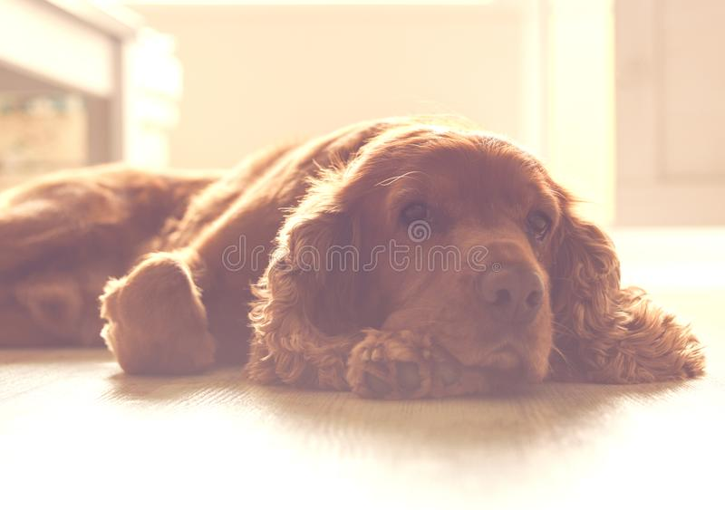 Cute dog - English Cocker Spaniel resting on the sunny part of the floor. Cute dog - English Cocker Spaniel resting on the sunny part of the floor stock images