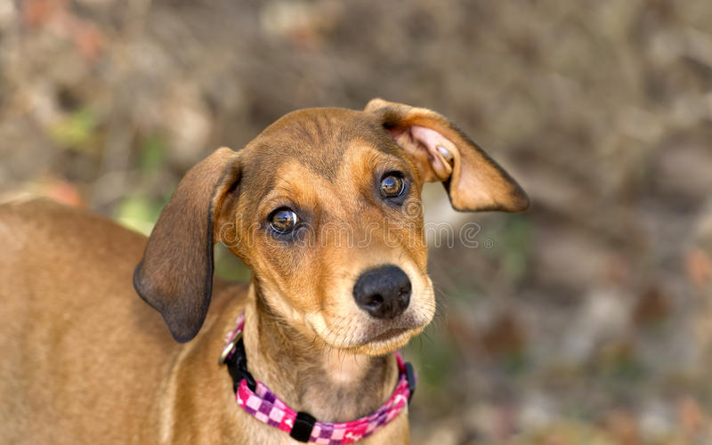 Cute Dog Face. Is an adorable brown puppy dog with big brown eyes and cute floppy ears looking right at you with wonder and curiousity royalty free stock photos