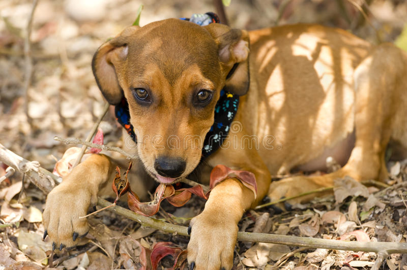 Cute Dog. Face is an adorable brown puppy dog with big brown eyes and cute floppy ears looking right at you with wonder and curiousity royalty free stock photo