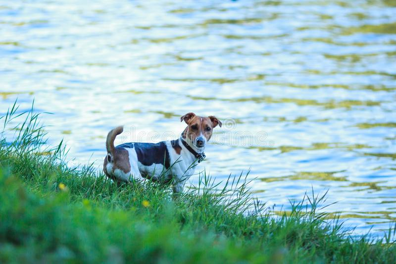 Cute dog, green grass and river. Cute dog stands on the green bank of river and looks directly to the camera. On the way to swim. Dog having fun stock photo