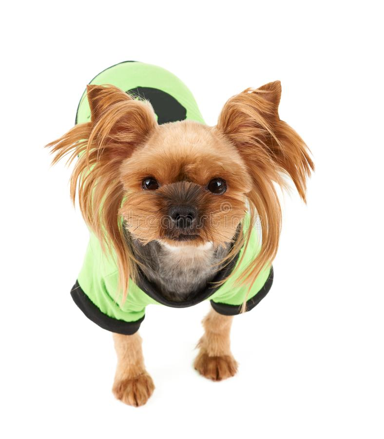 Cute dog in green pet suit. One cute Yorkshire Terrier in green pet suit isolated on white royalty free stock images