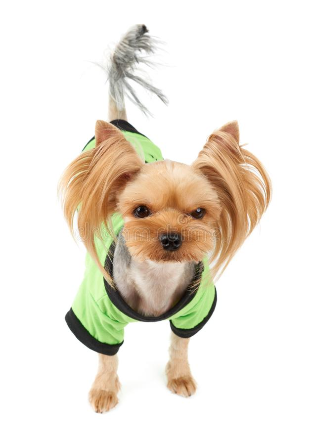 Cute dog in green pet suit. One cute Yorkshire Terrier in green pet suit isolated on white stock photos
