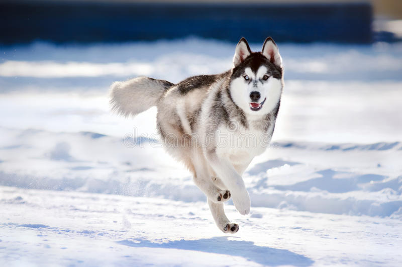 Cute dog hasky running in winter stock photo