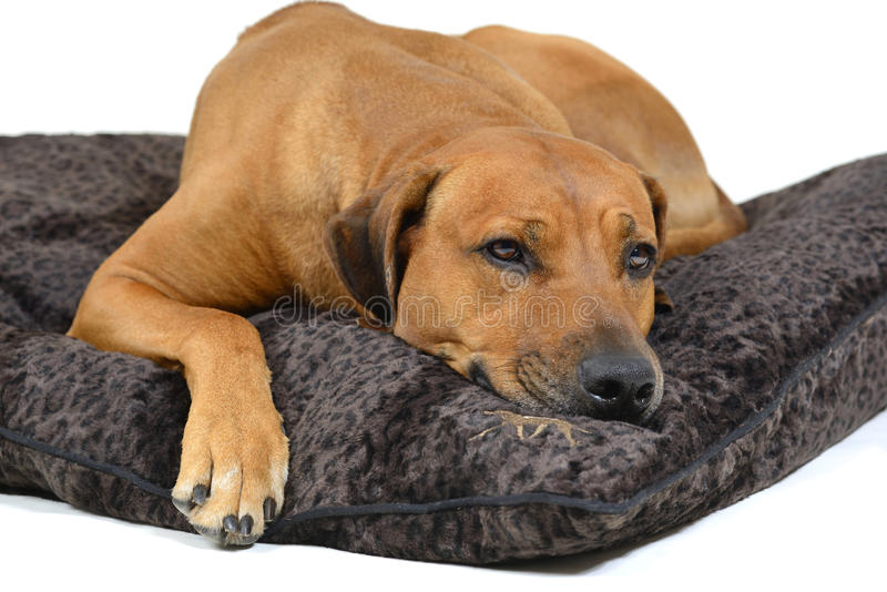 Cute dog on his bed. Cute Rhodesian Ridgeback is lying tired on his nice dogbed. Image taken as a closeup isolated on white background. The dog is five years of stock photography