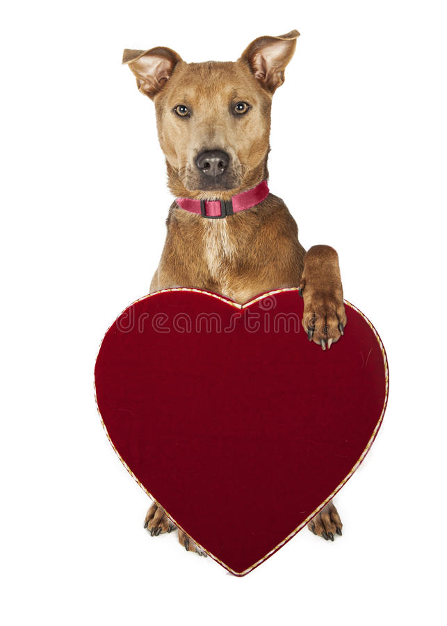 Free Cute Dog Holding Candy Heart Box Stock Photos - 64093303
