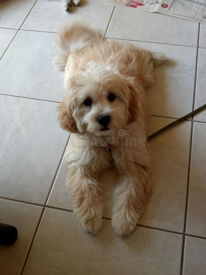 Cute dog. Dog at home in portmore st catherine jamaica stock photos
