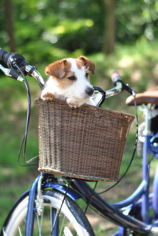 CUTE DOG JACK RUSSELL SITTING IN A BICYCLE BASKET ON SUMMER DAYS stock photos