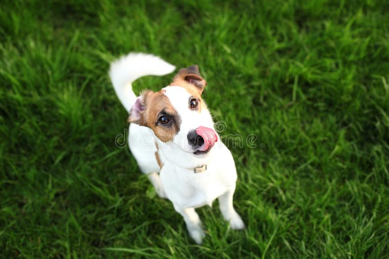 Cute dog Jack Russell Terrier licking his nose with a pink tongue hanging out. Portrait of a funny domestic dog eating delicious f stock photography