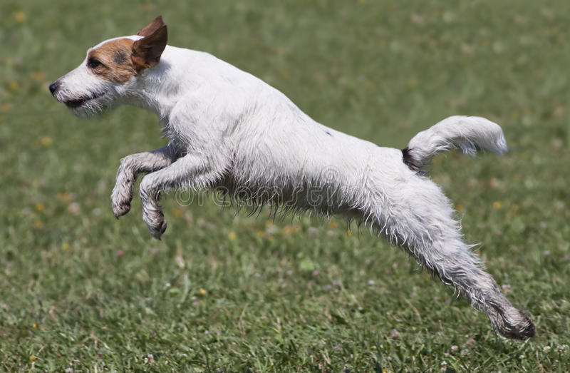 Download Cute dog jumping stock image. Image of friend, jump, green - 25486101
