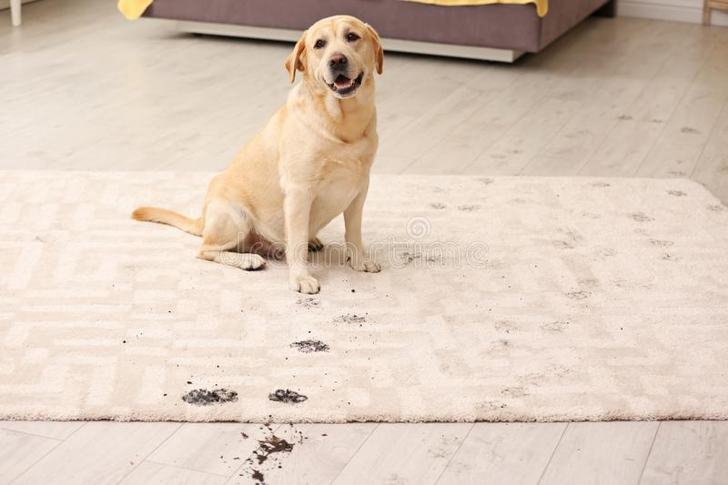 Cute dog leaving muddy paw prints. On carpet stock photography