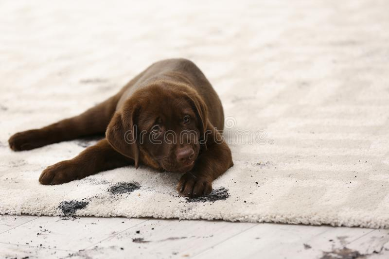 Cute dog leaving muddy paw prints. On carpet stock images