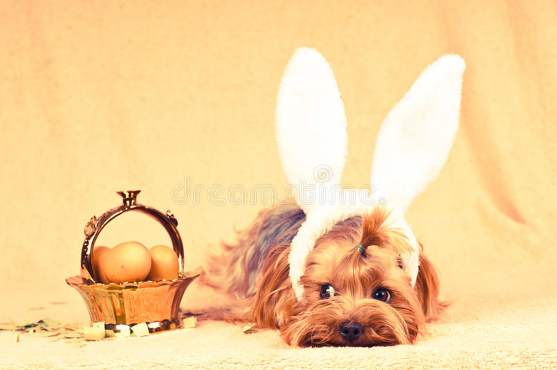 Cute dog like easter bunny. Lying portrait with eggs in golden basket. Retro photo effect royalty free stock photos
