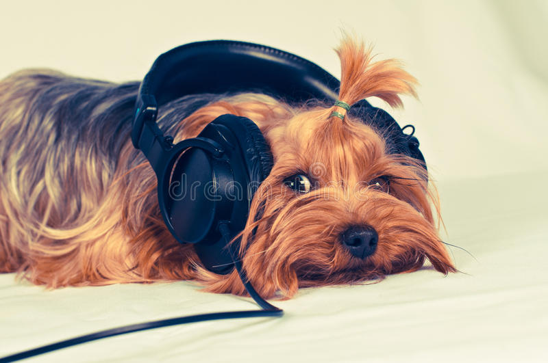 Cute dog listen to music royalty free stock images