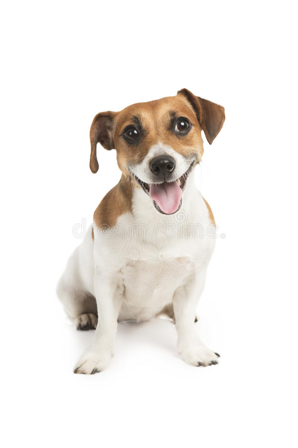 Cute dog looking at the camera with a smile. Dog with his tongue. Smiling puppy royalty free stock photography