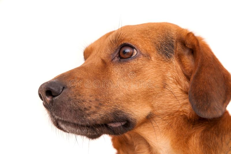 Cute dog looking with interest. On white background stock image