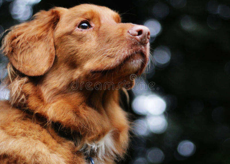 Cute Dog looks off into the distance. Nova Scotia Duck tolling retriever looks off into the distance for this regal looking shot royalty free stock images