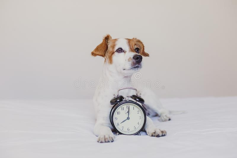cute dog lying on bed with an alarm clock set on 8 am. morning and wake up concept at home. Pets indoors, lifestyle stock image