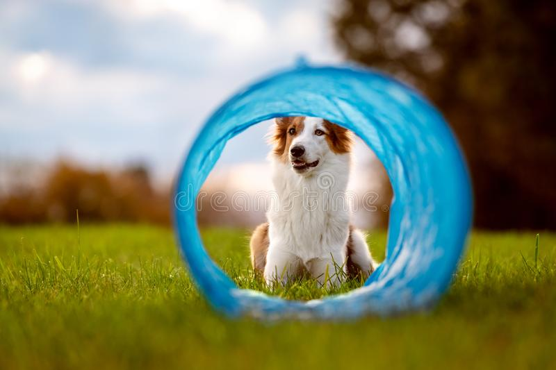 Cute dog is lying in front of a tunnel or tube, agility trainee break stock photo