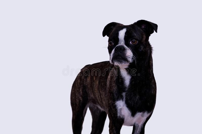 Portrait of a Boston Terrier Pug or a Bug. This cute dog is a mixture of a Boston terrier and a pug, they often call them bugs. Picture taken on a white royalty free stock images