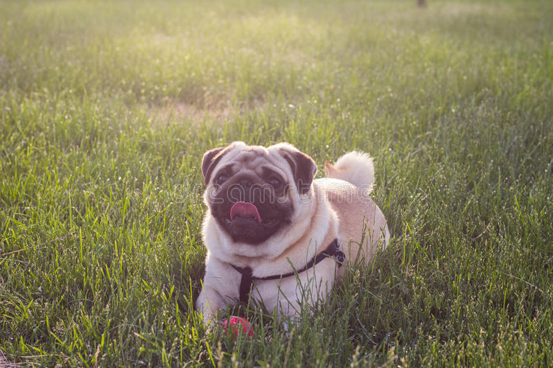 Cool Bulldog Ball Adorable Dog - cute-dog-mops-playing-outside-smiles-red-ball-dog-lying-grass-looking-up-camera-90063193  Trends_70246  .jpg