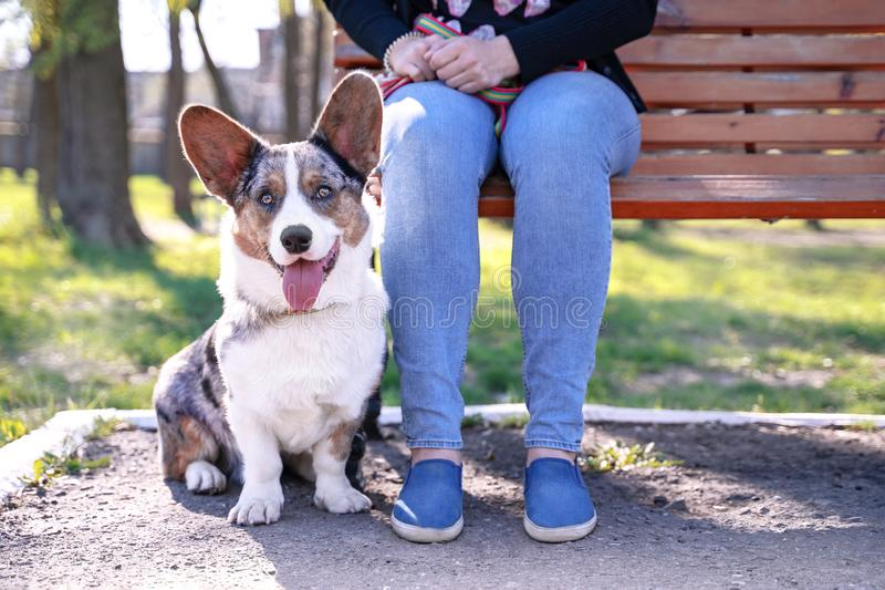 Cute dog Pembroke welsh corgi cardigan  sits next to the owner on the bench royalty free stock photos