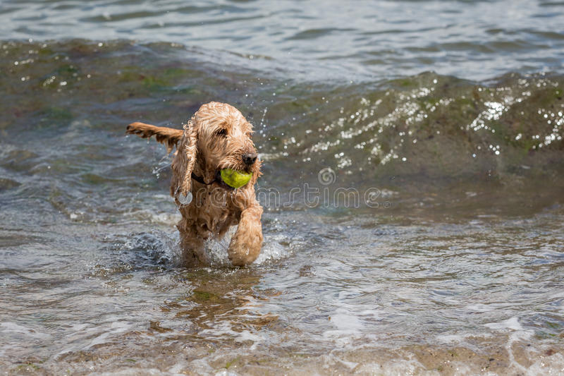 Cute dog playing in the sea. Cute cocker spaniel dog with a ball in its mouth playing in the sea stock images