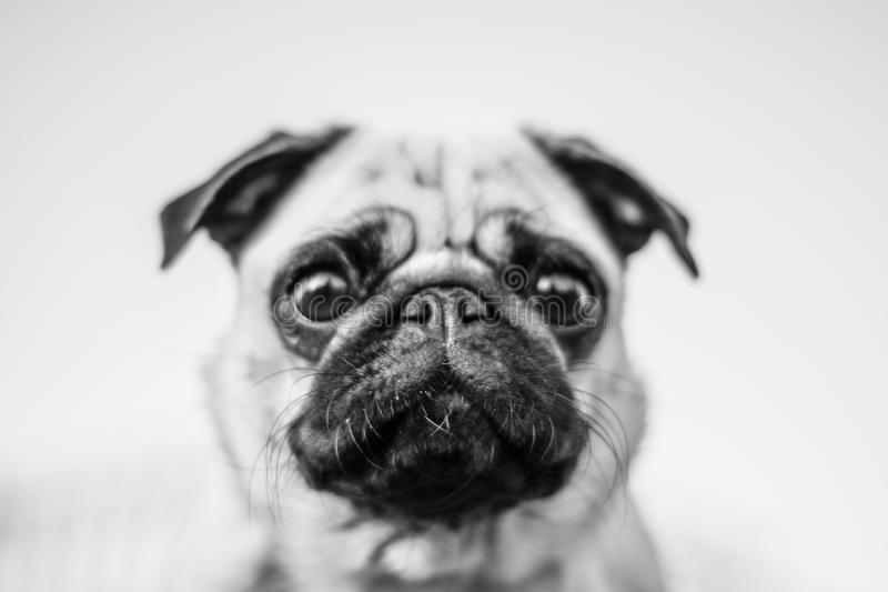 Cute dog portrait, mops black and white photo stock images