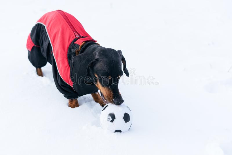 Cute dog puppy, breed dachshund black tan,in clothes playing with a ball on the snow royalty free stock photo