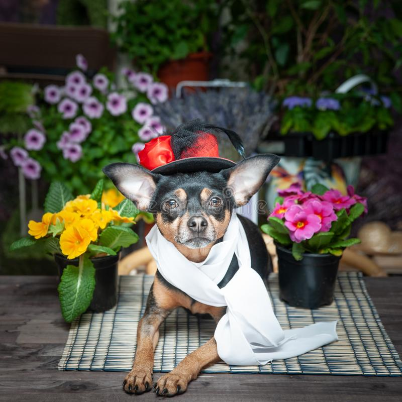 Cute dog, puppy in a hat and scarf surrounded by flowers, royalty free stock image