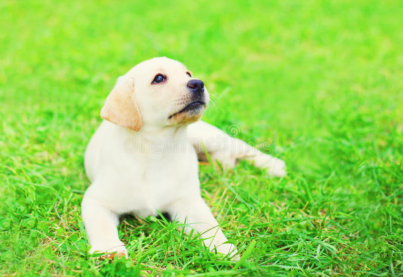 Cute dog puppy Labrador Retriever is lying resting on the grass in a summer day stock images