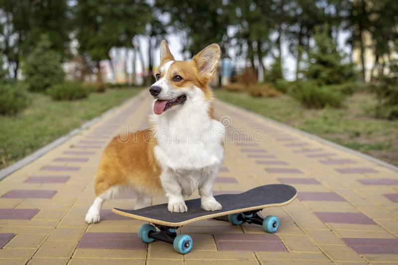 Cute dog puppy redhead pembroke welsh corgi standing a skateboard on the street for a summer walk in the park, smiling, sticking o royalty free stock photos