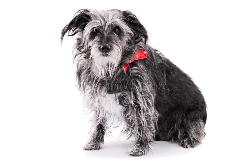 Simple Ribbon Bow Adorable Dog - cute-dog-red-ribbon-isolated-white-background-irish-terrier-bow-61648051  Picture_855720  .jpg