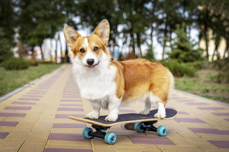 Cute dog redhead pembroke welsh corgi standing a skateboard on the street for a summer walk in the park royalty free stock photos
