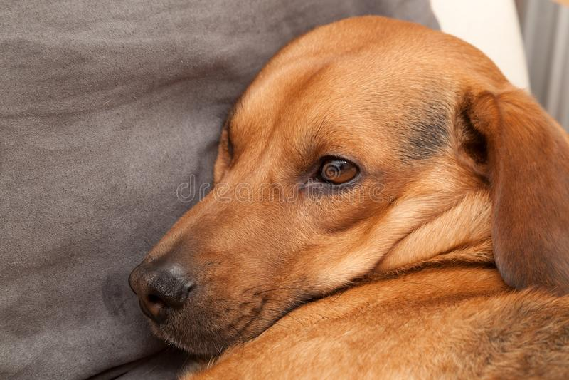 Cute dog resting on the sofa. Shot of cute dog resting on the sofa royalty free stock images