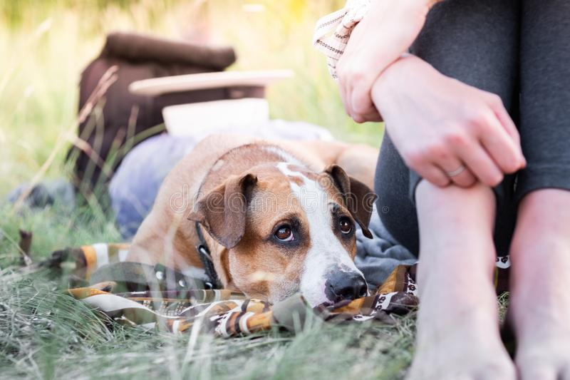 Cute dog rests next to her owner outdoors at a camping site, close-up view. stock photos