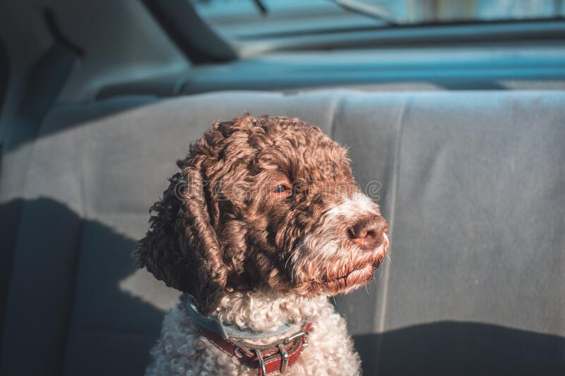 Dog riding in the backseat of the car. Cute dog riding in the backseat of the car stock images