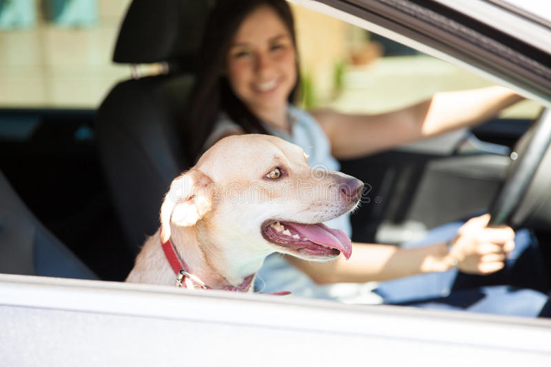 Cute dog riding in a car. Friendly and cute dog riding in the passenger seat of a car with a young woman driving royalty free stock photo