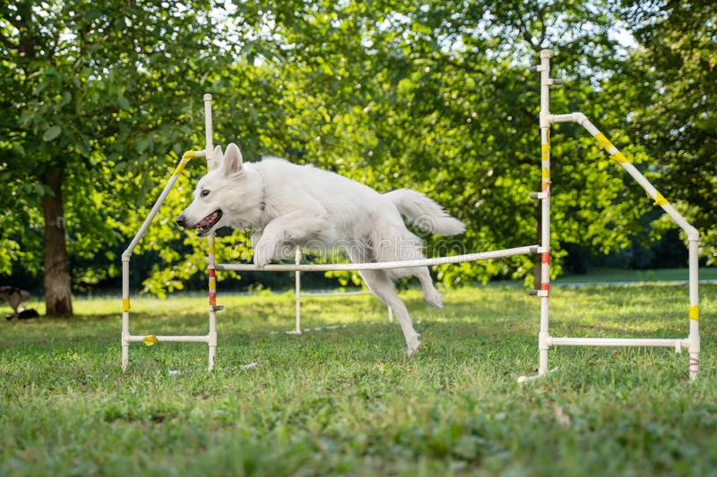 Cute dog running on agility competition. Dog in an agility competition set up in a green grassy park. white swiss shepherd jumping royalty free stock photography