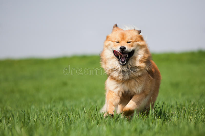 Cute dog running on the meadow stock image