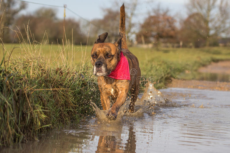 Cute Dog Running through Puddle stock images