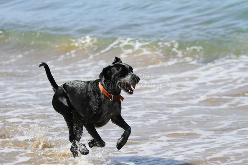 Dog running in the sea royalty free stock image